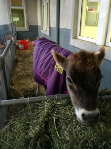Cow wearing a purple coat