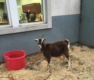 tucker-goat