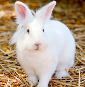 white bunny with mane 1