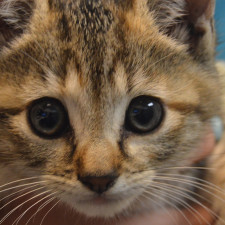 Wanted: Experienced kitten fosters!