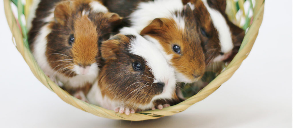 baby-guineas-banner