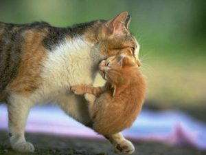 mom-carrying-kitten-cat-photosorg