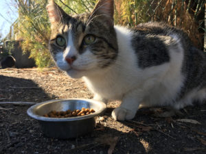 "A ""working cat"" at the Oakland Animal Services. She helps to control the rodent population around the grounds of the shelter."