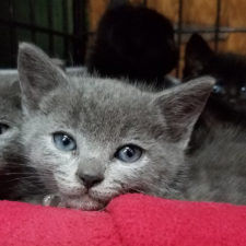 Learn how to be a foster for underage kittens!