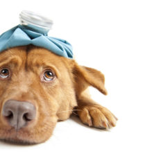 Cases of Canine Influenza Virus H3N2 (CIV) have been confirmed in the South Bay Area