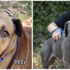 Yeti and Sully are looking for foster homes